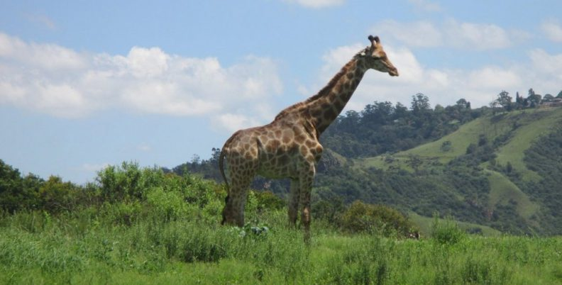 Giraffe at Phezulu Safari Park